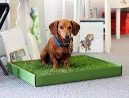 Приучение собаки к лотку
